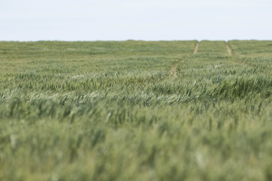 Wheat-04.jpg