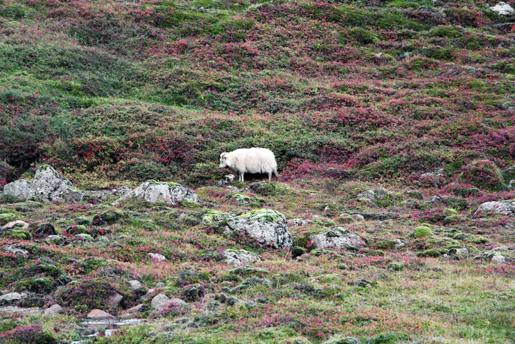 Iceland Sheep in the Meadow Rocks
