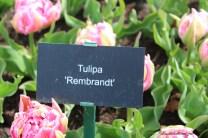 TWW - Tulip Rembrandt