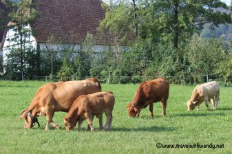 tww-cows-at-the-hohenlohe-freiland-wackershof-museum-www-travelwithwendy-net
