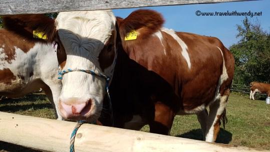 tww-cows-wackershof-hohenlohe-freilandmuseum-www-travelwithwendy-net