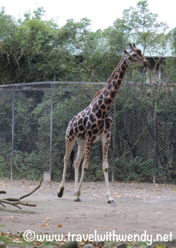 Giraffe - actually at Hagenbeck Zoo - Hamburg