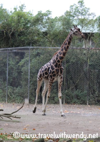 Giraffe - actually at Hagenbeck Zoo - Hamburg