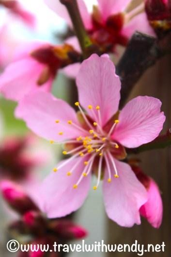 Almond Blossoms - in Gimmeldingen