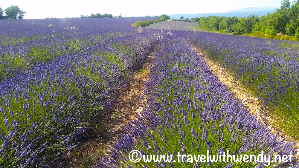 Lavender fields - Provence, France.jpg