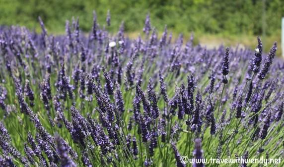 Vaugines - Lavender blooms