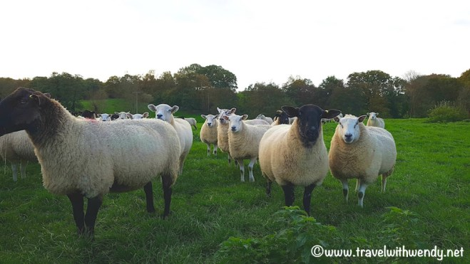 Kilsham Farm - field of sheep