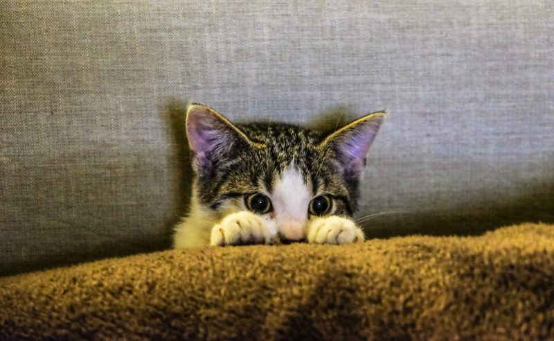 Anxious cat peeks over cushion