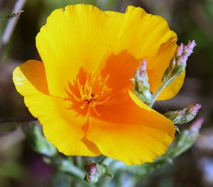 California_poppy_2