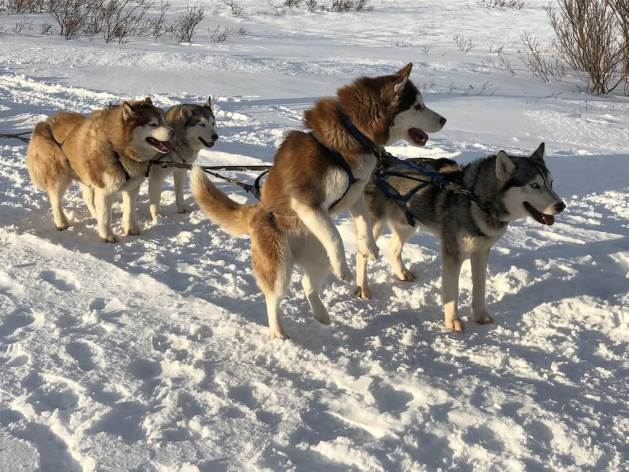 Things to do in Iceland with kids - dog sledding