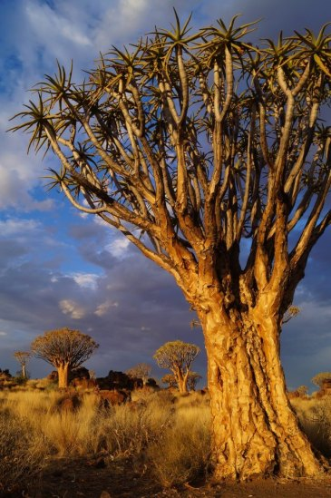 Quiver tree at Garas Park Rest Camp