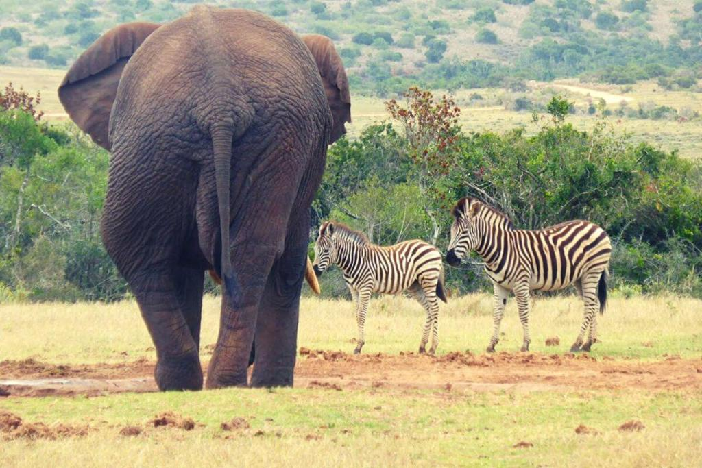 Elephant and zebras at Addo National Park
