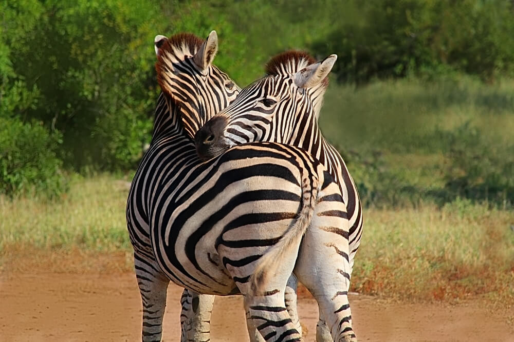 Hugging couple of zebras in Kruger National park, South Africa