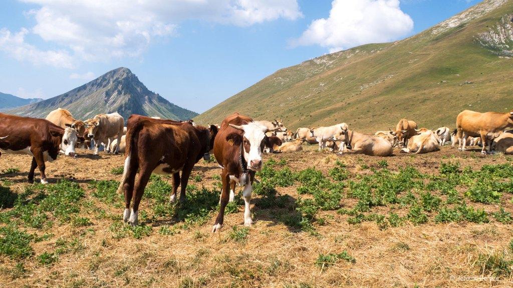 Les vaches aux Portes du soleil