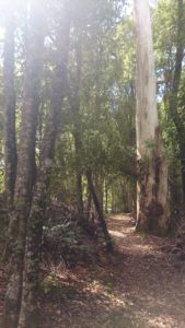 White Gum Tree