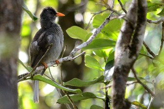 mauritius bulbul at black river gorges national park