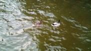 Feeding the Ducks!