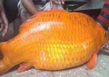 Detik detik Badai Dahsyat di Danau Toba Sehari setelah Ikan Mas Raksasa 14 Kg Dibunuh - Mengejutkan - Badai dahsyat Danau Toba Terjadi Setelah Ikan Mas Raksasa Dibunuh