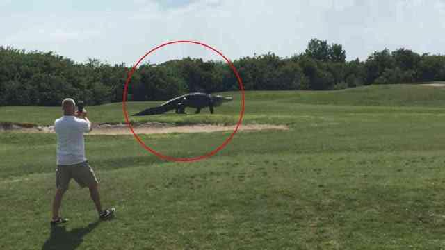 aligator menyebrang lapangan gof - Seperti di Catwalk, Aligator Raksasa ini melewati Lapangan Golf