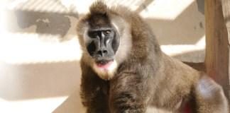 天王寺動物園鬼狒