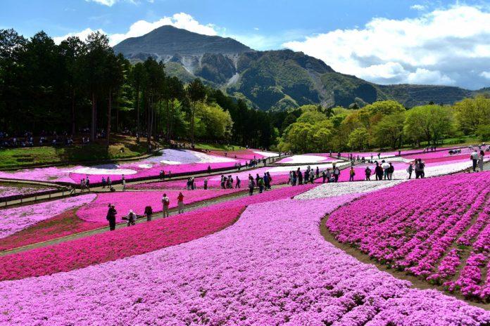 羊山公園 芝櫻花海 1