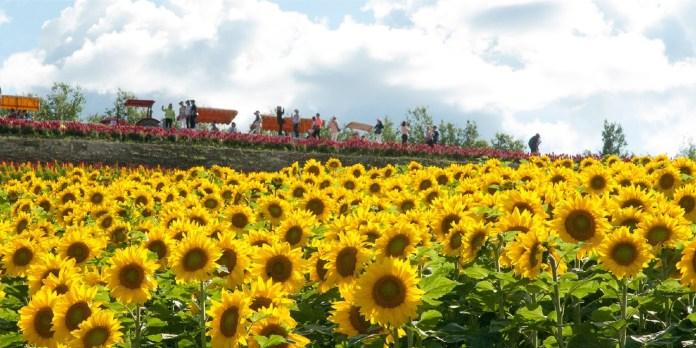四季彩之丘 向日葵