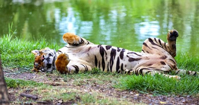 Safari World老虎