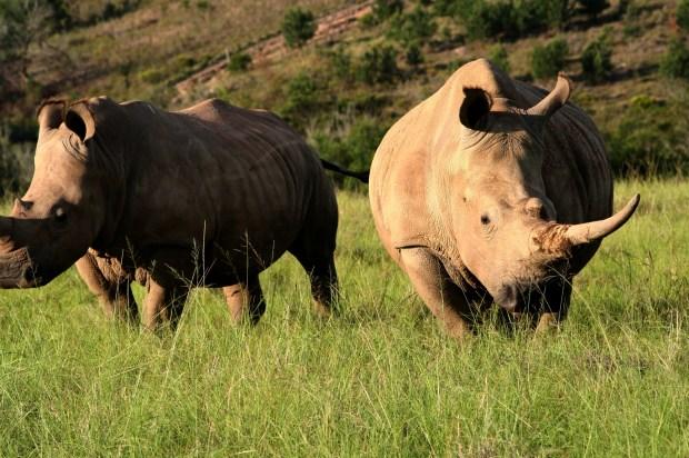 Guided Game drive Rhino 2