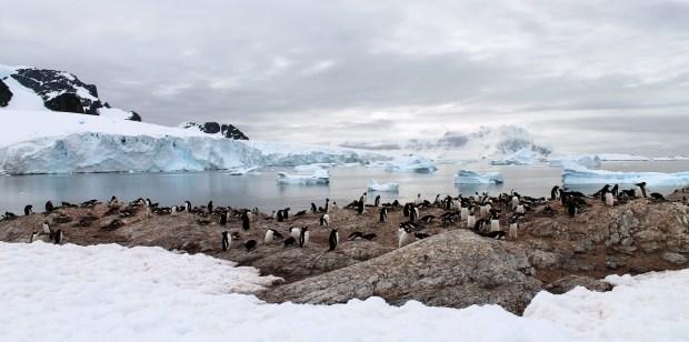 penguins cuverville
