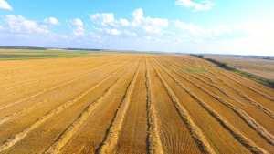 Barley swath rows in Melfort, Saskatchewan, Canada