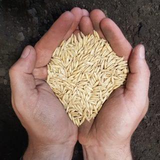 Oat Seed