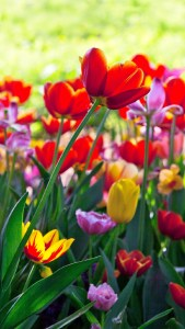 Red Yellow Purple Tulip Wallpapers Download Free