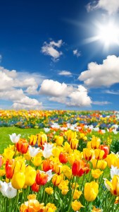 Tulip Flower Field Landscape 4K Android Wallpapers