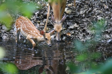 Fawn at the pond practicing Crane Lifts Leg Qigong