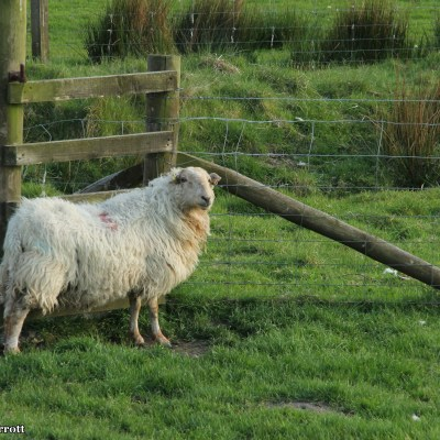 I head down the road to take some photos of the valley.  The sheep are skittish and run as I approach.
