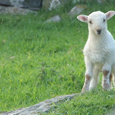 The baby lambs are playful and curious, but inevitably run and hide under their parents.  They are so cute, I just want to squeeze one.