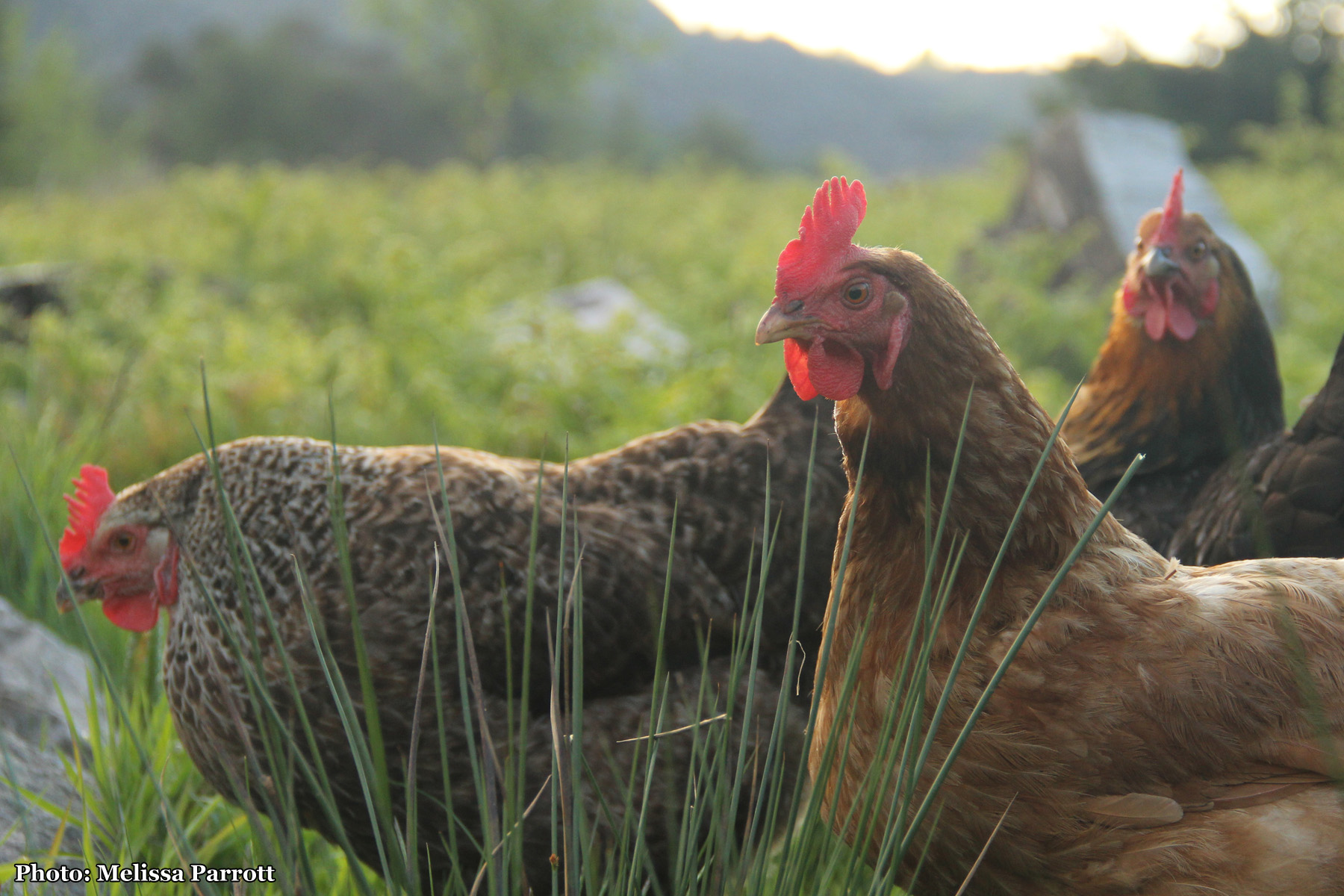 Hens on the farm mean fresh eggs for breakfast!