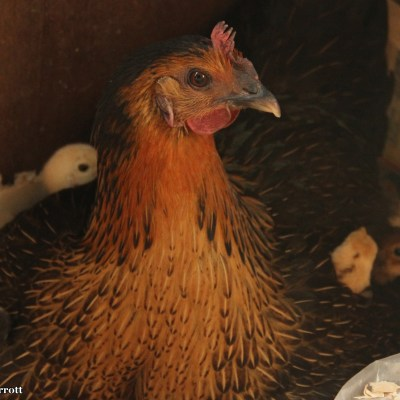 Gwyn let me peek inside the henhouse where this proud mama hen was nestled with her chicks.