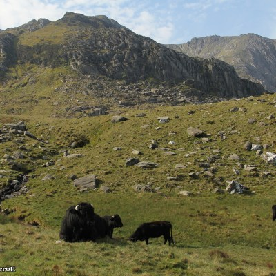 Welsh Black dairy cows, the oldest breed in Britain, raised their heads indifferently at me as I trod down the rocky footpath.