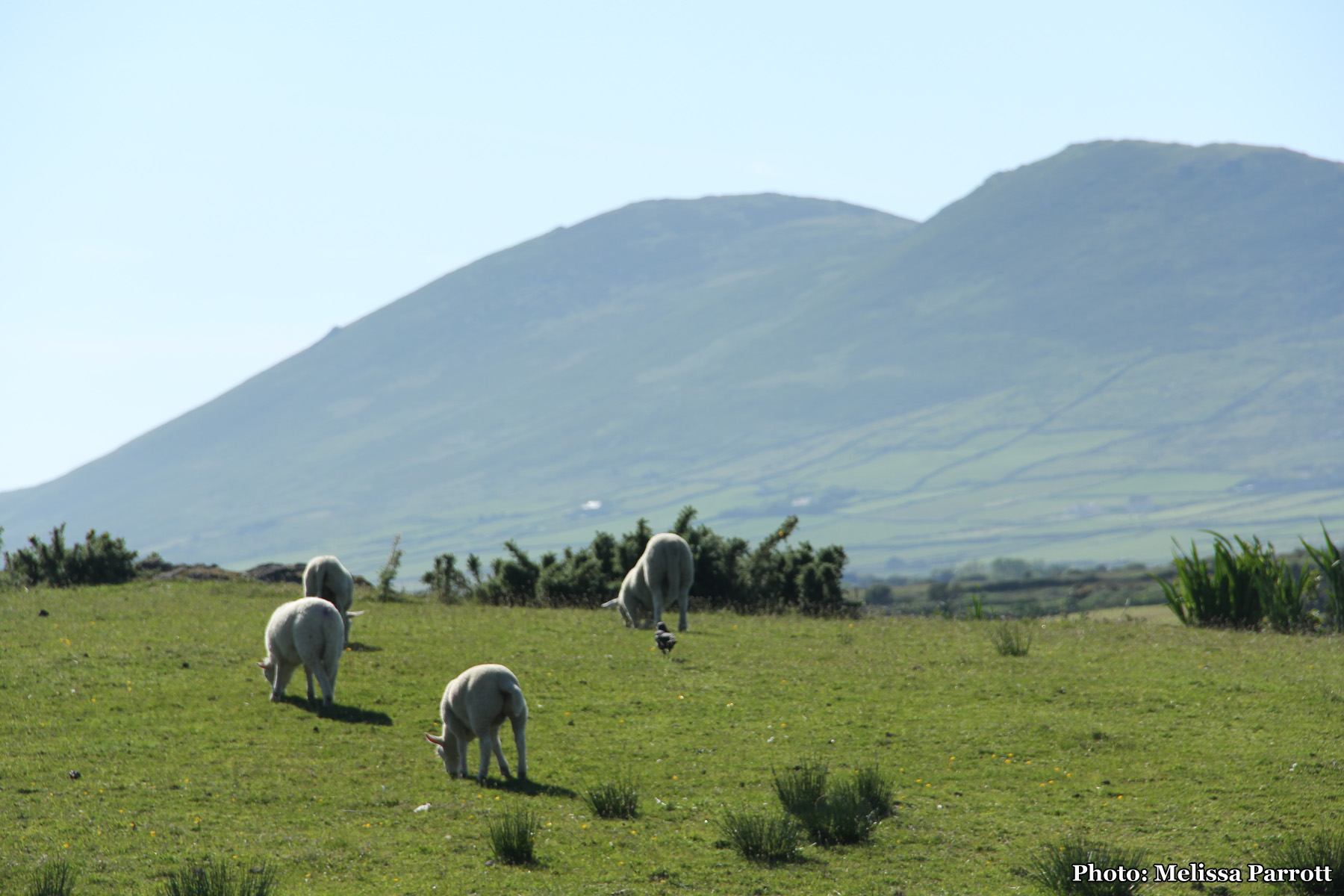 Sheep grazing near Cahersiveen