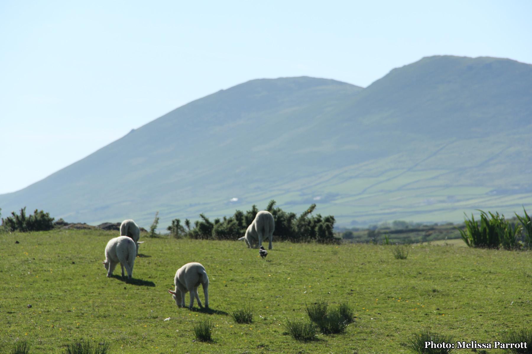 Sheep grazing near Cahersiveen