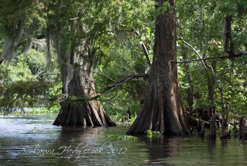 everglade-trees