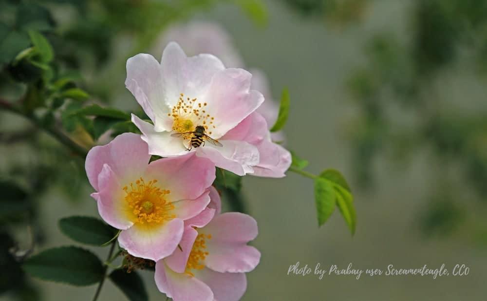 Rose Everyday