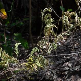 poikilohydry-pleopeltis-polypodioides-12