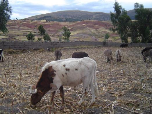 Cattle grazing in the Andes Mountains in Socos Peru!