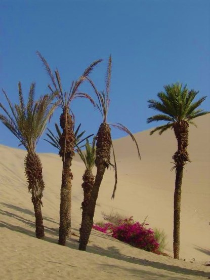Some of the younger palm trees at the oasis of Huacachina!
