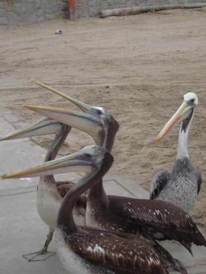 Pelicans waiting for fish from the fishermen!