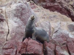 One of the Sea Lions speaking to others on other rock formations!
