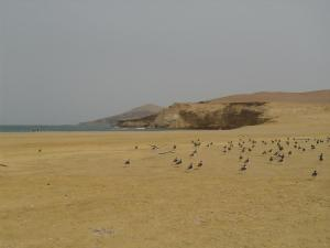 Group of birds along the desert coast of Paracas National Reserve in Peru.