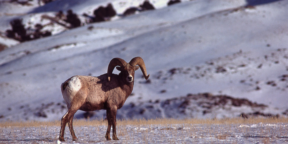 Big Horn Sheep YNP